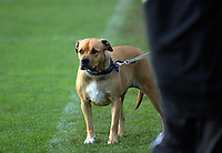 A dog watches the Central League football match between Stop Out and Wairarapa United at Hutt Park in Wellington, New Zealand on Saturday, 27 May 2017. Photo: Dave Lintott / lintottphoto.co.nz