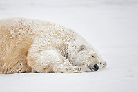 Polar bear adult female rolls around in the snow covered barrier island in the Arctic National Wildlife Refuge.