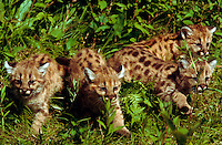 Four 4-week old mountain lion cubs walking through grass.