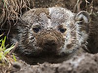 A Badger emerges from a fresh burrow with dirt on his face. Burrowing Owls nest in tunnels created by badgers, prairie dogs and other mammals.