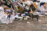 Adult Barbary Macaque searching through black plastic garbage bags for food while domestic stands close by. Rock of Gibraltar garbage dump.