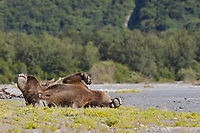 A grizzly bear lounges by the river while he waits for salmon. Kodiak grizzly bear (Ursus arctos middendorffi), Kukak Bay