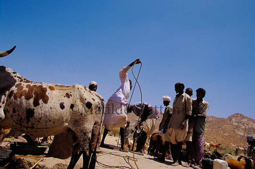 Eritrea - Debub- Villagers collecting water from a well. As a result of 30 years of war for independence against Ethiopia (from 1961 to 1991) and another 3 years from 1997 to 2000, there are 50,000 Eritreans currently living in internally displaced (IDP) camps throughout the country. These IDPs have fled three times in the last 10 years, each time because of renewed military conflict. They lived in relatives' homes when lucky enough, but mostly, the fled to the mountains, where they attempted to do what Eritreans do best, survive. Currently there is no Ethiopian occupation in Eritrea, but landmines prevent the IDPs from finally going home. .It is estimated that every Eritrean family lost two or three members to the war which makes the reality of the current emergency situation even more painful for Eritreans worldwide. Currently, the male population has been decreased dramatically, affecting the most fundamental socio-economic systems in the country. Among the refugee population, an overwhelming majority of families are female-headed, severely affecting agricultural production. For, IDPs in particular, 80% of households are female-headed..The unresolved border dispute with Ethiopia remains the most important drawback to Eritrea's socio-economic development, as national resources (human and material) continue to be prioritized for national defense. Eritrea is vulnerable to recurrent droughts and variable weather conditions with potentially negative effects on the 80 percent of the population that depend on agriculture and pastoralism as main sources of livelihood. The situation has been exacerbated by the unresolved border dispute, resulting in economic stagnation, lack of food security and increased susceptibility of the population to various ailments including communicable diseases and malnutrition..