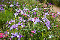 Native Iris douglassii wildflowers in spring Meadow garden, Menzies California native plant garden