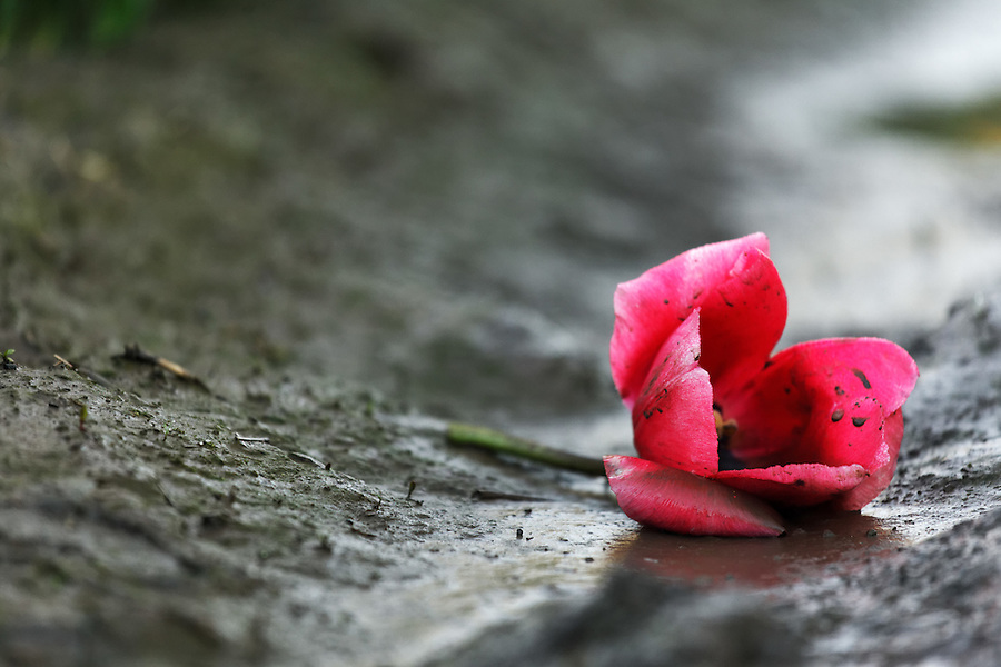 A single cut red tulip blossom fallen onto mud, Mount Vernon, Skagit Valley, Skagit County, Washington, USA