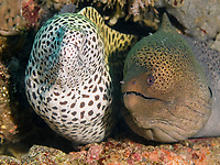 spotted moray eel, Gymnothorax isingteena, giant moray eel, Gymnothorax javanicus, South Ari Atoll, Maldives, Indian Ocean