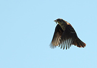 Female red-winged blackbird bringing insects to young in nest. Lake Hamilton, Hot Springs, Arkansas.