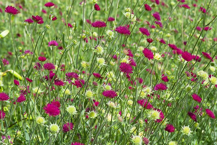 Knautia macedonica, mid June.