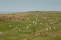 Lesser black-backed gull - Larus fuscus colonies on Walney Island Nature Reserve, Barrow in Furness, Cumbria, Uk