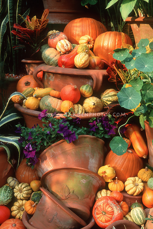 Gourds, pumpkins, terra cotta pottery pot containers display of squash vegetables, Nasturtium Tropaeoleum, Petunias flowers