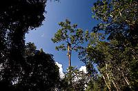 Parauapebas_PA, Brasil..Castanheira (Bertholletia excelsa) na floresta amazonica na floresta nacional de Carajás, Para...Chestnut tree (Bertholletia excelsa) in the Amazon forest in National Forest of Carajas, Para. ..Foto: JOAO MARCOS ROSA / NITRO