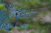 Mating display of a Peacock - Yala National Park, Sri Lanka