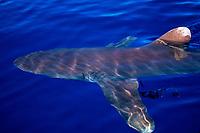 oceanic whitetip shark, Carcharhinus longimanus, Hawaii, Pacific Ocean