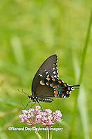 03029-01417 Spicebush Swallowtail butterfly (Papilio troilus) on Swamp Milkweed (Asclepias incarnata) Marion Co., IL