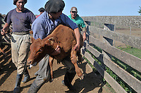Gauchos, the Argentine version of cowboys,  catch a calf  during a yerra, an event organized every spring in every farm of the country  to castrate male animals born during winter.Gauchos roast and eat about 20 million calf's testicles every year in the believe this will improve their sexual performance.
