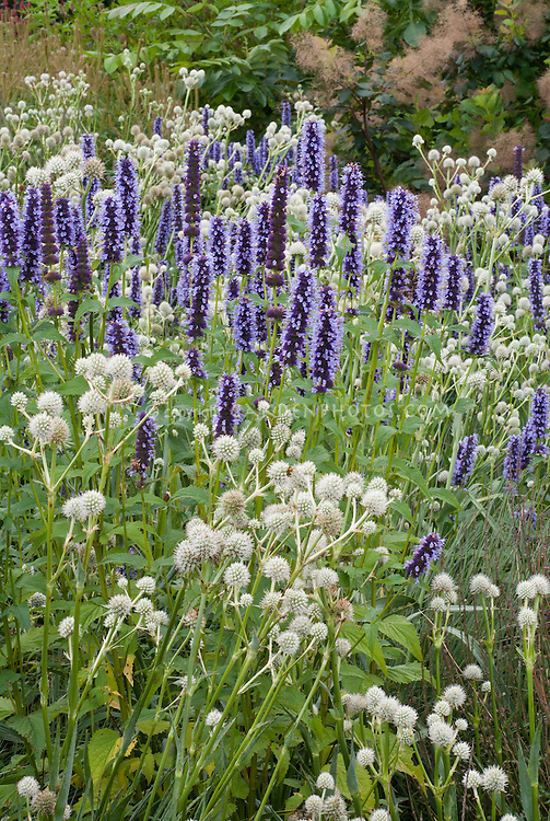 Agastache 'Black Adder' + Eryngium yuccifolium, tall stately perennials with height and vertical interest, blue and white color theme, textures and shapes, round and long