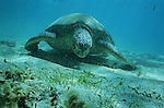 The green sea turtle lowers its head and searches the sand with its beak looking for some algae to eat. Mayotte island, France<br /> Pench&eacute;e vers lavant, elle enfouit son bec rond dans le sable et broute les plantes marines de l herbier