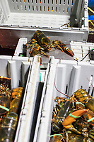 A live lobster stands on a scale as workers sort the animals by size and weight at Island Seafood's receiving facility in Eliot, Maine, USA, on Wed., Jan. 31, 2018. Lobsters are sorted into similar sizes and then moved to a packing facility to be shipped to customers around the world.