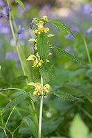 Yellow Archangel - Lamiastrum galeobdolon, Stoke Woods, Bicester, Oxfordshire owned by the Woodland Trust