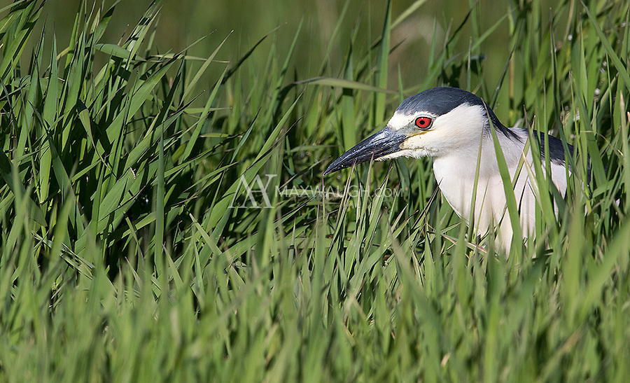 There were several Black-crowned night herons appearing during the early morning hours at Market Lake.