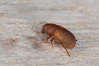 Gelbbrauner Fichtenbastkäfer, Gelbbrauner Fichten-Bastkäfer, immatur, Jungtier, Hylurgops palliatus, lesser spruce shoot beetle, lesser spruce bark beetle