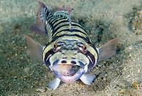 Sandperch, Parapercis sp., feeding on a Filefish, Monacanthidae, Dumaguete, Philippines, Pacific Ocean