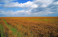 FIELD OF FLAX WEST OF THE CITY. AGRICULTURE, SKY , PARRY, FOOD, FARMING. WINNIPEG MANITOBA CANADA.