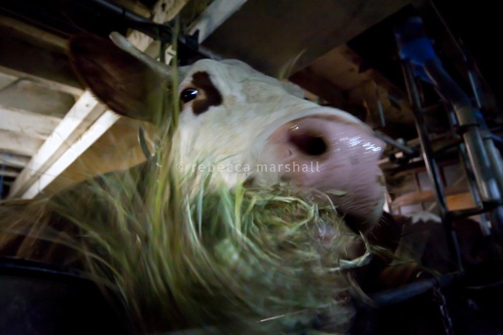 Cow at Ferme le Tavaillon, Le Grand Bornand, France, 16 February 2012.