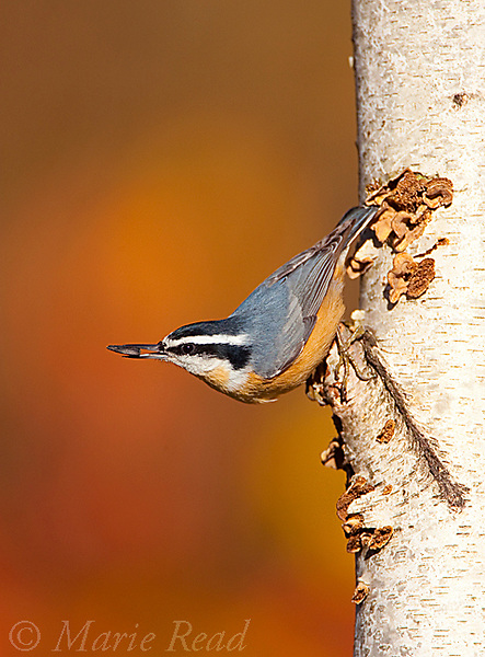 Red-breasted Nuthatch (Sitta canadensis), male holding sunflower seed in autumn, New York, USA