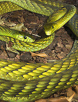 0423-1128  Mating Snakes, Pair of Western Green Mamba (West African Green Mamba) in Copulation, Dendroaspis viridis  © David Kuhn/Dwight Kuhn Photography