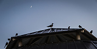 The pavilion roof, guarded by grackles presided over by a gull and all under the watchful eye of the waxing crescent moon.