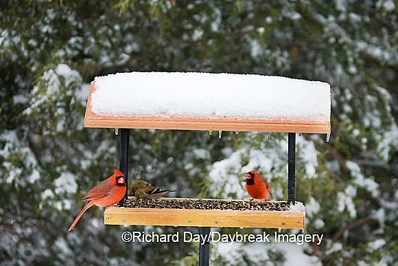00585-03601 Northern Cardinals males,  & American Goldfinches on tray feeder in winter, Marion Co. IL