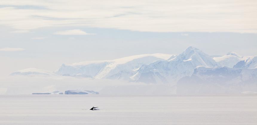 Humpack whale dives in Antarctica