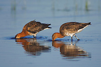Black-tailed Godwit, Limosa limosa, adult pair in breeding plumage feeding,National Park Lake Neusiedl, Burgenland, Austria, April 2007