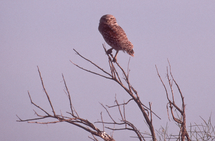 Burrowing owl, Hanford Reach, Hanford Reach National Monument, Washington State, Pacific Northwest, Athene cunicularia;