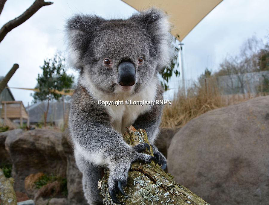 BNPS.co.uk (01202 558833)<br /> Longleat/BNPS<br /> <br /> A Koala larks about at Longleat<br /> <br /> Groundbreaking research carried out by British scientists may help to secure the long term survival of the 'threatened' koala in the wild.<br /> <br /> They have identified a genetic mutation in the marsupials which causes a kidney disease that affects almost 60 per cent of koalas in captivity and the wild.<br /> <br /> The discovery was made by University of Nottingham researchers while carrying out tests on tragic Wilpena, a southern koala who died at Longleat Safari Park in Wilts last year.<br /> <br /> She had been bought over from Adelaide in Australia with four other koalas last October as part of a conservation programme, but succumbed to oxalate nephrosis in January.<br /> <br /> It is hoped the breakthrough will help them to develop cross-breeding programmes to eradicate the genetic mutation.
