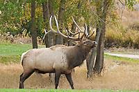 Bull Elk, Estes Park, Colorado