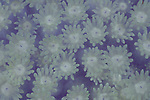 Bleached coral polyps