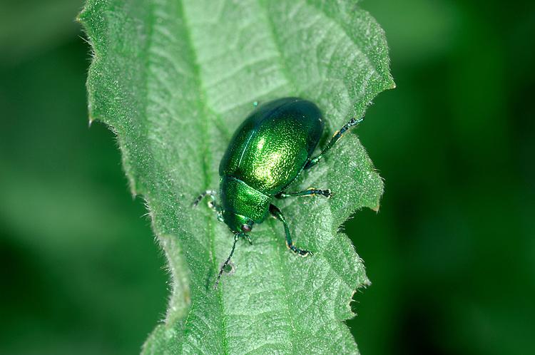 Mint Leaf Beetle - Chrysolina menthastri