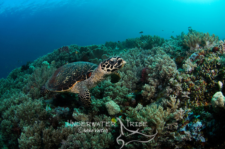 Green turtle, Eretmochelys imbricata, and soft coral, Raja Ampat, West Papua, Indonesia, Pacific Ocean