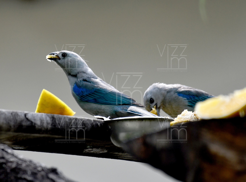 CALI - COLOMBIA, 25-11-2016: Azulejo, especie de ave presente en el norte de Cali. / Azulejo, bird species present in north of Cali Photo: VizzorImage / Luis Ramirez / Staff.
