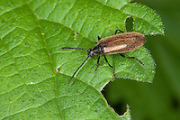 Gemeiner Wollkäfer, Woll-Käfer, Lagria hirta, Darkling Beetle