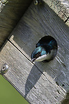 Tree swallow in northern Wisconsin