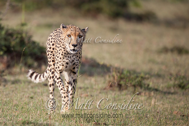 Female cheetah hunting on the savanna grassland in Kenya, Africa (photo by Wildlife Photographer Matt Considine)