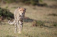Female cheetah hunting on the savanna grassland in Kenya, Africa (photo by Wildlife Photographer Matt Considine)