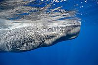 sperm whale, or cachalot, Physeter macrocephalus, Dominica, Caribbean Sea, Atlantic Ocean, permit # RP 13/365 W-03