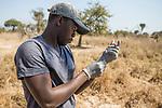 Cheetah (Acinonyx jubatus) veterinarian, Kambwiri Banda, drawing immobilization drug during collaring of sub-adult female cheetah, Kafue National Park, Zambia