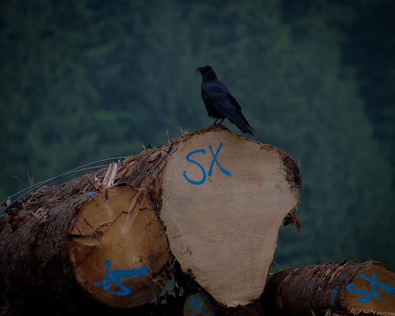 A raven perches on a bundle of logs graded for export to China. China's appetite for poor quality timber suitable for concrete forms created an upswing in the coastal forest industry in 2010 and into 2012, and a boon for a region with an abundance of second growth Western Hemlock and Douglas Fir of relatively low value in the BC log market.