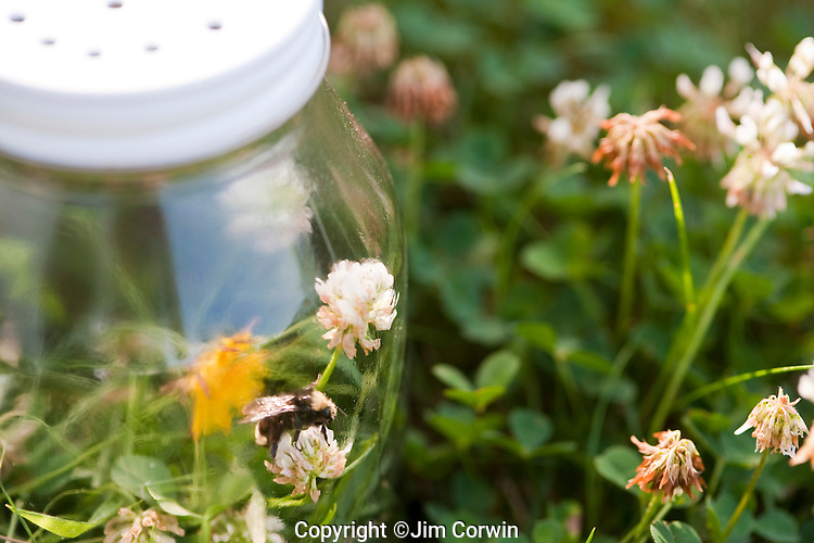 Glass Jar with trapped bumblebee inside in backyard summer fun.