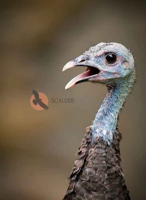 Close view of a female wild turkey head and neck with mouth open